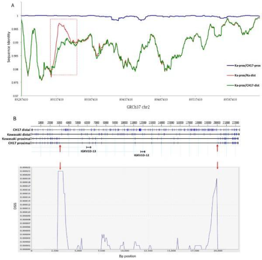 Detection of putative sequence exchange event between IGK proximal and distal gene clusters(A) Pair-wise alignments between proximal and distal segmental duplications in the CH17 haplotype and NG_000834.1 (proximal) and NG_000833.1 (distal) assemblies (Abbreviations: Ka, NG_000834.1/NG_000833.1 assemblies; prox, proximal; dist, distal). The region where Ka-prox and Ka-dist show stronger similarity than CH17-dist and Ka-prox highlights a potential region of sequence exchange between the two NG_000834.1 and NG_000833.1 assemblies (red box). Coordinates (GRCh37) for the proximal cluster are shown on the X axis. (B) Top panel shows a four-way sequence alignment of a 22.5 kb region from the proximal and distal units from within the red box in (A). Blue tick marks indicate bp SNP differences between the sequences. Upward pointing red arrows indicate boundaries of regions where the NG_000833.1 distal sequence aligns with a higher sequence similarity to the NG_000834.1/NG_000833.1 assemblies and CH17 proximal sequences than to the CH17 distal sequence, indicative of exchange between proximal and distal regions of the NG_000834.1/NG_000833.1 assemblies (sequence similarities: Ka-dist/CH17-dist=98.7%; Ka-dist/Ka-prox=99.7%). A DSS recombination analysis ((70); see methods) using the same four-way sequence alignment is shown in the bottom panel. The two peaks with the strongest DSS values (downward pointing red arrows) correspond to the predicted breakpoints shown in the top panel based on sequence similarity values. The dotted line across the chart indicates the significance threshold based on the  distribution of DSS values calculated assuming no recombination.