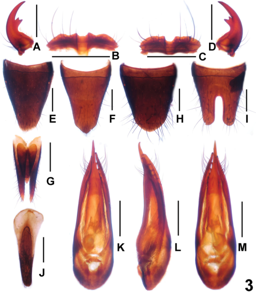 Paederusbrevior. A male left mandible B male labrum C female labrum D male right mandible E female tergite VIII F female sternite VIII G female tergite IX H male tergite VIII I male sternite VIII J male sternite IX K aedeagus in ventral view L aedeagus in lateral view M aedeagus in dorsal view. Scale bars: 0.5 mm.