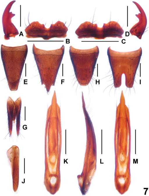 Paederusxui. A male left mandible B male labrum C female labrum D male right mandible E female tergite VIII F female sternite VIII G female tergite IX H male tergite VIII I male sternite VIII J male sternite IX K aedeagus in ventral view L aedeagus in lateral view M aedeagus in dorsal view. Scale bars: 0.5 mm.
