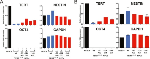 Clonal analysis of TERT promoter mutation NPCs confirmed results from bulk analysis.(A) Quantitative RT-PCR of TERT, OCT4, NESTIN, and GAPDH in NPCs differentiated from individual clones of the targeted hESCs (28 days after differentiation from hESCs). Expression levels are shown relative to WT hESCs. (B) Average expression of data shown in (A). Expression levels are compared to WT hESCs. Error bars represent the SEM.DOI:http://dx.doi.org/10.7554/eLife.07918.013