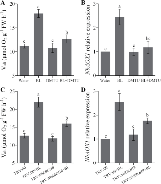 Involvement of H2O2 in the BR-induced alternative respiratory pathway. (A, B) Changes of alternative respiration (Valt) (A) and NbAOX1 expression (B) in H2O2 scavenger DMTU pre-treated plants as influenced by 0.1 μM BL. N. benthamiana plants were treated with 5mM DMTU for 8h and then treated with 0.1 μM BL for another 24h. Single treatment of BL or DMTU was included as a control. (C, D) Changes in alternative respiration (C) and NbAOX1 expression (D) in NbRBOHB-silenced plants as influenced by 0.1 μM BL. Bars represent mean and standard deviation of values obtained from three biological repeats. Significant differences (P<0.05) are denoted by different lowercase letters. FW, fresh weight.