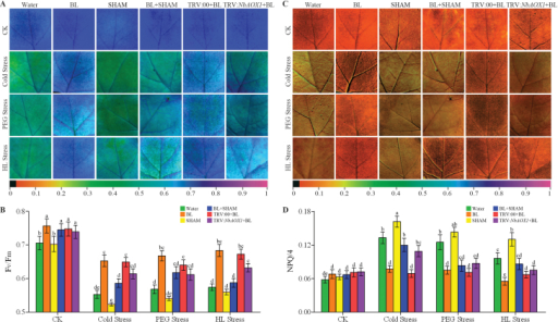 AOX alleviates photosystem damage in BR-induced stress tolerance. (A, C) Images of the maximum PSII quantum yield (Fv/Fm) (A) and NPQ/4 (C) in the eighth leaf of each N. benthamiana plant under cold (4 °C), 16% PEG 6000, or HL (600 μmol m–2 s–1) stress for 3 d. The alternative pathway was inhibited by 1mM SHAM pre-treatment or NbAOX1 silencing in these BL-treated plants. (B, D) verage values of Fv/Fm (B) and NPQ/4 (D) for the respective chlorophyll fluorescence images. Ten plants were used for each treatment and a picture of one representative leaf is shown. Bars represent mean and standard deviation of values obtained from six independent plants. Significant differences (P<0.05) are denoted by different lowercase letters. (This figure is available in colour at JXB online.)