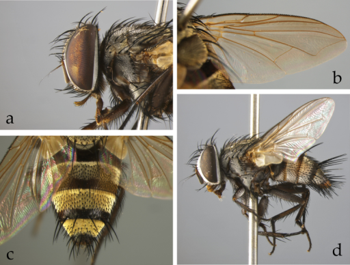 Afrophylax Cerretti & O'Hara, gen. n. a–cAfrophylaxaureiventris (Villeneuve) (male, Nigeria, MZUR) a head in lateral view b wing c abdomen in dorsal view d female of Afrophylaxaureiventris, habitus in lateral view (Uganda, TAU).