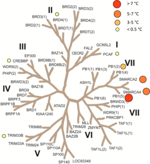 Selectivity of 26. Inhibitor 26 was screenedat 10 μM against selected bromodomains by DSF assay. Temperatureshifts for screened proteins are shown on the phylogenetic tree.