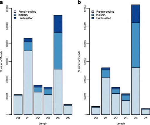Bar charts for the number of reads per length (bp) in small RNA populations of sunflower meiocytes mapping to protein-coding, lncRNA or unclassified transcripts in two genotypes. a Results for the wild genotype Ac-8. b Results for the domesticated genotype HA89