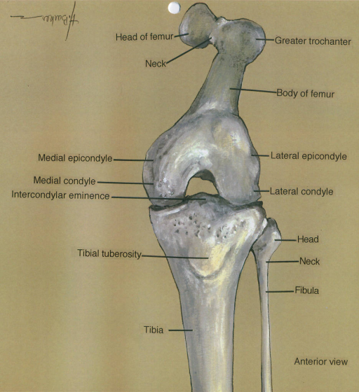 femur; medial epicondyle; medial condyle; intercondylar eminence; tibial tuberosity; tibia; greater trochanter; lateral epicondyle; lateral condyle; fibula
