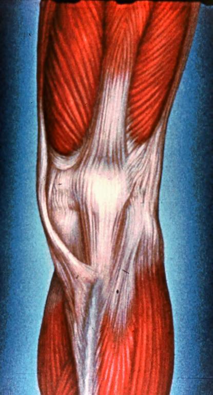 patella; pes anserinus; tendon of sartorius muscle; ten | Open-i