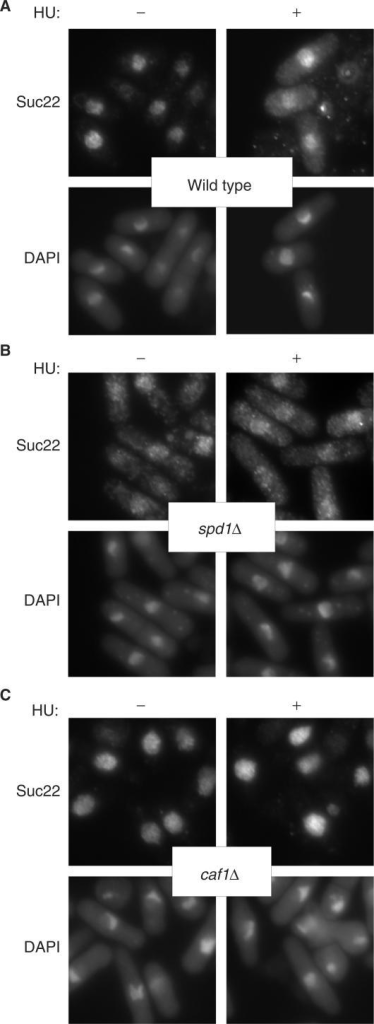 Caf1 is required for the cytoplasmic translocation of Suc22 in response to DNA-replication stress. Logarithmically growing cells, wild type (A, YSP001), spd1Δ (B, YSP112) and caf1Δ (C, YSP066), were incubated in the presence and absence of 10 mM HU for 2 h at 30°C. Immunofluorescence-staining images of Suc22 were obtained with an anti-Suc22 antibody.