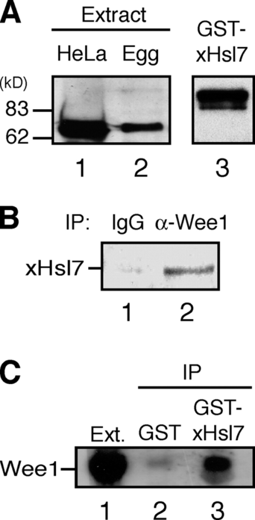 Xenopus Hsl7 interacts with Wee1 in Xenopus egg extracts. (A) HeLa cell lysate (10 μl), Xenopus egg extracts (2 μl), or GST-xHsl7 were resolved by SDS-PAGE and immunoblotted with anti-JBP1. (B) Immunoprecipitates formed using affinity-purified anti-Wee1 or control IgG were immunoblotted with anti-JBP1. (C) GST or GST-xHsl7 coupled to glutathione Sepharose was incubated in Xenopus egg extract and immunoblotted with anti-xWee1.