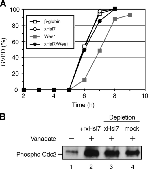 Excess xHsl7 restores inhibition of oocyte maturation induced by Wee1 injection and xHsl7 does not affect Wee1 kinase activity. (A) 50 stage VI oocytes were injected with 40 ng of mRNAs encoding β-globin (open square), FLAG-xHsl7 (open circle), HA-Wee1 (closed square), and 40 ng each of FLAG-xHsl7 and HA-Wee1 mRNAs together (closed circle). After a 12-h incubation, they were treated with progesterone and scored for the percentage of GVBD. (B) Ultra S Xenopus egg extract (purified cytosol) was either mock depleted, depleted of xHsl7, or supplemented with recombinant xHsl7. ATP-regenerating system was then added along with sodium vanadate to inhibit dephosphorylation of Cdc2. Recombinant human cyclin B1 was then added and the reaction was allowed to proceed for 10 min. xWee1 activity was determined by assaying the phosphorylation level of Cdc2 by immunoblotting with anti-phospo Cdc2.