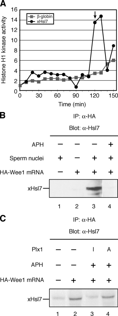Excess Hsl7 overrides the DNA replication checkpoint. (A) Xenopus Hsl7 or β-globin mRNA was incubated in cycling extracts in the presence of aphidicolin (200 μg/ml). Cell cycle progression was monitored by assessing histone H1 kinase activity. Square, β-globin mRNA; circle, FLAG-xHsl7 mRNA. An arrow indicates the time of the nuclear envelope break down and the chromosome condensation as monitored by a microscope. (B) Buffer (lane 1) or HA-Wee1 mRNA (lanes 2,3, 4) were incubated in cycling extracts containing no sperm (lane 2) or sperm chromatin DNA (lanes 1, 3, and 4) in the absence (lanes 1–3) or presence (lane 4) of aphidicolin (200 μg/ml). After a 60-min incubation, HA-Wee1 protein was isolated with anti-HA beads and bound proteins were analyzed by anti-Hsl7 immunoblotting. (C) Buffer (lane 1) or HA-Wee1 mRNA (lanes 2–4) were incubated in cycling extracts containing sperm chromatin DNA in the absence (lanes 1 and 2) or presence (lanes 3 and 4) of aphidicolin (200 μg/ml) and inactive Plx1 (lane 3) or constitutively active Plx1 (T201D; lane 4). After a 60-min incubation, HA-Wee1 protein was isolated with anti-HA beads and bound proteins were analyzed by anti-Hsl7 immunoblotting.