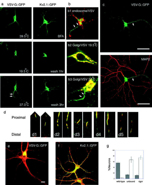 Post-Golgi transport of axonal and dendrite carriers in hippocampal neurons visualized by CLSM. (a) Sorting of membrane protein–GFP fusion proteins under specific cell manipulation. VSVtsO45-G::GFP localizes in the ER at 39.5°C and moves to the TGN after a 30-min incubation at 19.5°C. Its post-Golgi transport starts when the temperature is shifted to 37°C. Note that VSV-G::GFP carriers are predominantly transported to one neurite (arrows) among the others. Kv2.1::GFP distributes diffusely in the somatodendritic area when expressed overnight in the presence of 1 μM brefeldin A. Kv2.1::GFP accumulates at the Golgi region 1 h after the brefeldin A washout, and starts post-Golgi transport. Note that Kv2.1::GFP was transported to all the dendrites 3 h after wash. (b) Characterization of VSV-G::G(Y)FP probes in neurons. (b1) Neurons were infected with Ad(VSVtsO45-G::GFP) and incubated overnight at 39.5°C, for 30 min at 19.5°C, and for 1 h at 37°C in the presence of 1 mg/ml Texas-red dextran (MW3000). Note that post-Golgi VSV-G carriers in the axon (arrows, green) are not labeled with the endocytotic marker (red). (b2 and b3) Double-label of hippocampal neuron with VSV-G::YFP and Golgi–CFP. At 19.5°C (b2), VSV-G::YFP (b2, green) was colocalized with the Golgi complex marker (b2, red) in the cell body. When the temperature is shifted to 37°C (b3), VSV-G::YFP moves from the Golgi complex area (yellow area at the upper right of b3, due to the overlap of VSV-G::YFP [green] and Golgi–CFP [red]) to the axon (b3, arrows). (c) VSV-G::GFP was dominantly transported from the TGN to the axon (arrow). Neurons were infected with Ad(VSVtsO45-G::GFP) and incubated overnight at 39.5°C, for 30 min at 19.5°C, and for 1 h at 37°C to visualize post-Golgi membrane transport (green). After fixation, the dendrites were stained with the anti-MAP2 antibody (red). Bar, 50 μm. Videos 1 and 2 are available at http://www.jcb.org/cgi/content/full/jcb.200302175/DC1. (d) Post-Golgi axonal carriers of VSV-G::GFP transport various membrane proteins. Axonally transported tubulovesicular organelles were simultaneously double-labeled with CFP- and YFP-tagged proteins, and time-lapse data were collected by sequential activation with 442 and 488 nm lasers by CLSM. (d1) VSV-G::CFP::CFP (red) and GAP-43::YFP (green). (d2) VSV-G::CFP::CFP (red) and β-APP::YFP (green). (d3) VSV-G::YFP (green) and Vamp2::CFP (red). (d4) Vamp2::CFP (red) and GAP-43::YFP (green). (d5) Vamp2::CFP (red) and β-APP::YFP (green). In each set, interval between the right and left panel is 10 s. Slight gaps between the CFP and YFP images along the longitudinal axis of vesicles are due to the time lag (∼0.7 s) between the sequential data acquisition. (e and f) Dominant negative kinesin (S205A,H206A; stained with the H2 antibody; red) inhibits polarized axonal transport of VSV-G::GFP (e, green), whereas it does not inhibit significantly dendrite transport of Kv2.1::GFP (f, green). Bars, 10 μm. (g) Inhibition of polarized axonal transport by dominant negative kinesins. Black bars indicate percentage of neurons with polarized VSV-G::GFP transport, and white bars indicate percentage of neurons exhibiting accumulation of VSV-G::GFP at TGN. Data were collected from four independent cultures.