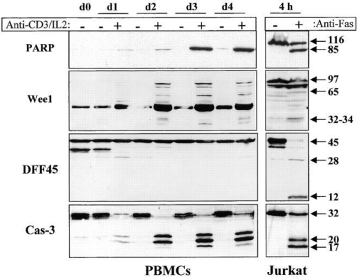 Caspase activation results in selective substrate cleavage. Total proteins from 106 unstimulated (−) or anti-CD3–activated (+) PBMCs were obtained at different time points (day 1 to day 4), separated by SDS-PAGE, and analyzed by Western blot using an anti-PARP, DFF45, or caspase-3 antiserum, or an anti-Wee1 mAb. As a control for caspase-mediated cleavage, total proteins from 106 Jurkat cells cultured on uncoated or anti-Fas–coated plates (M3: 20 μg/ml) for 4 h were subjected to the same treatment as PBMCs, and results are shown on the right. The 45-kD strong band observed with the anti-Wee1 antibody throughout the kinetic results from a cross-reactivity observed in some tissues with this antibody, according to the manufacturer. These experiments were performed three times, and gave similar results with different PBMC donors.