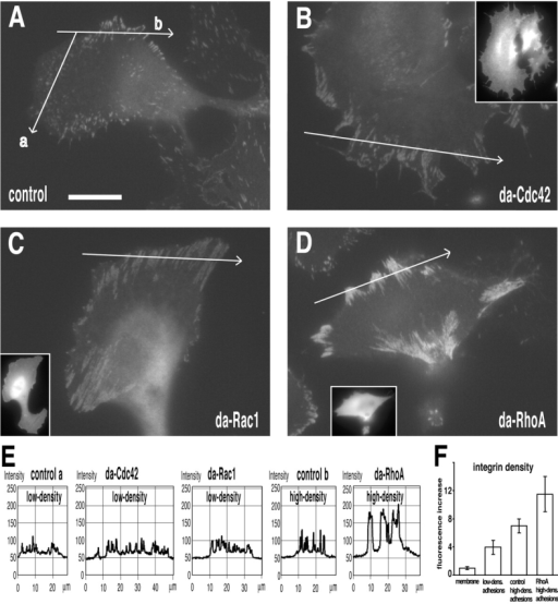 Members of the Rho family of small GTPases regulate β3-integrin clustering differentially. B16 β3–GFP cells transfected with myc-epitope–tagged dominant active forms of Cdc42, Rac1, and RhoA were plated overnight on vitronectin (1 μg ml−1)-coated glass coverslips. Cells were fixed and stained for the expression of the myc-epitope (inserts), and GFP fluorescence images were recorded with identical camera settings in order to appreciate qualitative as well as quantitative differences in the integrin localization pattern. (A) Nontransfected control cells displayed the typical pattern of small low-fluorescent focal adhesions in the lamellipodium (profile a) and larger high-fluorescent focal adhesions at lateral borders and rear of the cell (profile b). (B) Dominant active Cdc42 (da-Cdc42) induced the formation of long, streak-like arrays of low-fluorescent β3 integrin focal adhesions mainly localized in the lamella or periphery of the cell. Similarly, dominant active Rac1 (da-Rac1) induced extensive β3-integrin clustering into low-fluorescent adhesion sites at the periphery of the cell (C). In contrast, dominant active RhoA (da-RhoA) induced a retracted cellular morphology with intensively fluorescent β3-integrin focal adhesions at the cell periphery (D). Fluorescence intensity profiles of the indicated traces in A–D are shown in E. Note that the intensity profiles are similar between focal adhesions in the lamellipodium of control cells and cells transfected with dominant active Cdc42 and Rac1. Peak fluorescent intensities of lateral and rear focal adhesions in control cells are consistently higher compared with lamellipodial focal adhesions, but can increase even more after dominant active RhoA induction. A quantification of the β3-integrin density (fluorescence intensity increase over membrane) is shown in F. Bar, 15 μm.