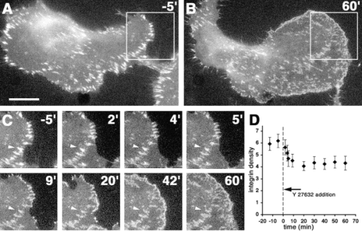 Block of intracellular tension reduces focal adhesion density. Time-lapse analysis of β3-integrin fluorescence of focal adhesions in B16 β3–GFP cells after addition of Y-27632 (20 μM) (A, 5′ before addition; B, 60′ after addition). (C) Higher magnification of the boxed area in A demonstrates (a) the reduction in β3-integrin density (fluorescence intensity) during the first 10 min of treatment and (b) the further dispersal of compact β3-integrin focal adhesions into irregularly shaped β3- integrin clusters (arrowhead). (D) The average peak β3-integrin integrin density in the peripheral focal adhesions was measured before and after the addition of the inhibitor. The indicated time refers to the addition of inhibitor. Bar, 20 μm.