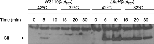 CII levels at heat induction. Strains W3110 (λcI857knR) and A8926 (λcI857knR) were grown overnight in Luria–Bertani at 32°C and then diluted 1:100 into 10 ml minimal media and grown to OD600 of 0.3. The cultures were transferred to 42°C for 10 min and were then returned to 32°C. Samples were taken at the indicated times from the onset of heat. Samples were loaded on 4–12% NuPAGE (Invitrogen), and CII levels were detected by Western blot using antibodies raised against the full-length CII (Kobiler et al., 2002).