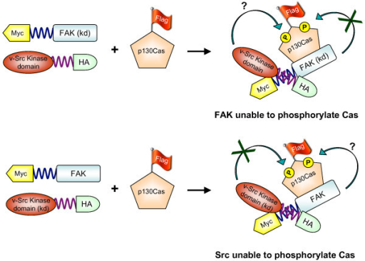 FIT as a tool to elucidate the role of kinases in a multi-molecular complex. FAK, Src and p130Cas are known to exist in multi-molecular complexes. Since both FAK and Src possess kinase activity, either one (or both) could phosphorylate p130Cas. The importance of Src or FAK as the kinase responsible for phosphorylating p130Cas can be easily studied by using kinase-dead (kd) versions of each. From our results, we conclude that the Src kinase activity is responsible for phosphorylating p130Cas.