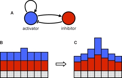 Activator–Inhibitor SystemThe activator is shown in blue, and the inhibitor is shown in red. (A) The activator enhances its own production as well as the production of the inhibitor. The inhibitor inhibits production of the activator. (B and C) A line of cells, with the height of the blue and red bars indicating activator and inhibitor concentration. A slight increase in the concentration of the activator in one cell causes an increase in production of both the activator and the inhibitor in that cell (B). The inhibitor diffuses away more quickly than the activator, allowing local activation to escalate, while simultaneously suppressing neighbor cells (C).