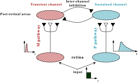 "A schematic description of the RECOD model. The open and filled synaptic						symbols depict excitatory and inhibitory connections, respectively. To avoid						clutter, only a small part of the networks and connections are shown. The						inter-channel inhibitory connection from the transient channel onto the						sus-tained channel represents the interchannel						""transient-on-sustained"" inhibition."