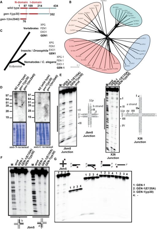 Phylogenetic analysis of GEN-1 and in vitro nuclease activity.(A) Diagram showing the GEN-1 domain structure. (B) Unrooted phylogenetic tree of XPG-superfamily members. Bacterial Taq. Pol1 serves as an outgroup. Protein sequences were aligned using Jalview 2.4 employing the MAFT algorithm [83], and the Splitstree program was used to generate the tree shown using the Neighbour Joining Method. The length of the scale bar indicates the lengths of the branches of the phylogenetic trees corresponding to a 10% chance (p 0.1) of replacing an amino acid/site. An, Aspergillus nidulans, Bm, Brugia malayi, Ca, Candida albicans, Ci, Ciona intestinalis, Dm, Drosophila melanogaster, Gg, Gallus gallus, Hs, Homo sapiens, Nv, Nematostella vectensis, Pp, Pichia pasteuris, Sc, Saccharomyces cerevisiae, Sp, Schizosaccharomyces pombe. (C) Four distinct XPG-1 family members occur in all animals examined. The current view of phylogenetic relationships between vertebrates, insects and nematodes is indicated. (D) Affinity purified GEN-1 antibodies (guinea pig) detect a specific band corresponding to the predicted size of GEN-1 and GEN-1 (yp30) (for details Figure S7B, S7C). Equal loading is demonstrated by the Coomassie staining of the membrane. (E) Jbm5 (left panel) and X26 (right panel) junctions, radioactively [5′-32P]-labeled on the b and a strand respectively, were incubated at 37°C with the indicated protein (Figure S4A), and the cleavage products analyzed by denaturing gel electrophoresis in polyacrylamide. Lane 1 is a sequence marker for the b stand (left panel). The sequence of the junction is shown, with the homologous section shaded, and cleavage sites are indicated. (F) Symmetry of Holliday junction cleavage by recombinant GEN1. Holliday junction Jbm5, radioactively [5′-32P]-labeled on either the b or the d strand was incubated at 37°C with the indicated protein, and the cleavage products were analysed by electrophoresis in polyacrylamide gels under denaturing conditions. M indicates the sequence marker for each respective strand. (G) GEN-1 is specific for Holliday Junctions. Single-stranded, duplex, 3′ overhang and 5′ flap structures were subjected to GEN-1 nucleolytic activity as shown in E. For each reaction, 5 nM of gel purified substrates has been used. For more details see Materials and Methods.