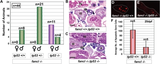 Mutation of tp53 rescues the female-to-male sex-reversal phenotype of fancl mutants by reducing germ cell apoptosis.(A) The distribution of individuals of different tp53 genotypes among fancl−/− homozygous mutant progeny (n = 44) from an in-cross of double heterozygotes (fancl+/−;tp53+/−) is shown in a bar graph representing the number of females (purple bar) and males (green bars) distributed according to their tp53 genotypes (wild type, heterozygous or homozygous mutant). Rescue of female-to-male sex reversal was observed exclusively in fancl−/− mutant homozygotes that were also homozygous for the tp53 mutation (n = 15): 11 fancl−/−;tp53−/− animals developed as females and 4 developed as males. No rescue was observed in fancl mutants that were either wild-type (n = 8; fancl−/−;tp53+/+) or heterozygous for the tp53 mutation (n = 21; fancl−/−;tp53+/−), which all developed as males. Total numbers of animals (n) are indicated on the graph per each sex in each genotype. (B,C) Hematoxylin and eosin staining of gonad sections of wild-type female (fancl+/+;tp53+/+, B) and rescued female doubly homozygous mutant (fancl−/−;tp53−/−, C) at adult stage, revealed the presence of morphologically normal ovaries in the rescued fancl−/−;tp53−/− females. Ovaries of both genotypes had oocytes at different stages of development (i.e.: IB, II, III, IV). Scale bar: 0.1 mm (B,C). (D,E,F) tp53 mutation reduces germ cell apoptosis in fancl mutants at 25 dpf. Immunodetection of apoptosis by anti-active Caspase-3 in paraffin sections of gonads of fancl homozygous mutants simultaneously homozygous wild-type (D) or homozygous mutant for tp53 (E) at 25 dpf. Dashed lines outline gonad boundaries (D,E). (F) Bar graph representing the average number of Caspase-3-positive germ cells in fancl−/−;tp53+/+ (n = 5) and fancl−/−;tp53−/− (n = 5) at 25 dpf. Results showed that the average number of apoptotic germ cells was approximately three fold lower in doubly homozygous mutant animals (fancl−/−;tp53−/−; x– = 30±56) than their fancl−/− mutant siblings that were wild-type for tp53 (fancl−/−;tp53+/+; x– = 105±71). This result shows that tp53 mutation decreased the number of apoptotic germ cells in fancl mutants at 25 dpf and demonstrates that the abnormal increase in germ cell apoptosis in fancl mutants that compromised the survival of developing oocytes was the mechanism responsible for the female-to-male sex reversal.