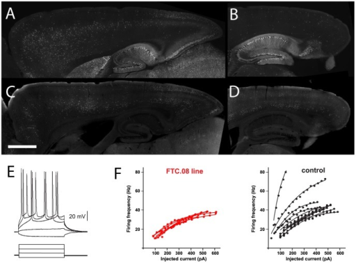 Variability of functional properties in neuronal subsets in thy1mp-cre lines.(A)-(D) Sagittal sections of thy1mp-cre lines (FTC.13 ((A), (B)) and FTC.08 ((C), (D)) reveal changes in the layer-specific expression in the frontal versus occipital cortical areas. In addition, in the occipital cortex the layer-specific expression changed from medial ((A), (C) corresponding to retrosplenial cortex) to lateral ((B), (D) corresponding to visual cortex) (bar = 1 mm). (E) Whole-cell recordings from visual cortex layer 2/3 of thy1mp-cre line FTC.08 were performed from GFP positive and GFP negative neurons in the same animals (n = 7 and 11, respectively). The relationship between the amount of injected current and the frequency of induced action potential was plotted for each recorded cell. GFP positive layer 2/3 neurons from FTC.08 had a smaller variability in their frequency-current relationship than GFP negative layer 2/3 pyramidal neurons in the same animals. (F) shows the adaptation index for GFP positive and GFP negative control layer 2/3 pyramidal neurons from line FTC.08 (n = 7, 11, respectively). The adaptation index indicates the ratio of the second interspike interval (ISI) over the last ISI of a series of pulses (200 ms).