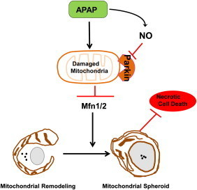 Parkin negatively regulates mitochondrial spheroid formation. Following mitochondria damage by APAP, mitochondria are depolarized and Parkin is translocated to the outer membrane of mitochondria. In most cases, Parkin promotes Mfn1 and Mfn2 (Mfn1/2) degradation resulting in mitochondrial fragmentation, and Parkin also promotes canonical selective mitophagy through mitochondrial ubiquitination. APAP increases production of nitric oxide (NO) and reactive nitrogen species in certain areas of the liver (such as Zone 2), which may lead to the s-nitrosylation/or other possible translational modifications and inactivation of Parkin to allow Mfn1/2 mediated formation of mitochondrial spheroids. The mitochondrial spheroid pathway could be a default pathway that serves as another alternative mechanism to regulate mitochondrial homeostasis when Parkin is inactivated. Mitochondrial spheroids can contain some lysosomal markers and are acidic and may undergo self-turnover and in turn protect against APAP-induced necrosis.
