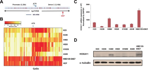 Analysis of the methylation and expression of HOXA11 in vitro(A) Gene map shows location of CpGs that were studied by different methods in this study. (B) The methylation status of 90 CpGs at the promoter region of HOXA11 was analyzed using the EpiTYPER™ assay in six lung cancer cell lines (H23, H226, H460, H520, H1650, and A549), a bronchial epithelial cell line (HBE135-E6E7), and in a normal human dermal fibroblast (HDF). Two-way cluster analysis shows the methylation status of HOXA11 in eight cell lines. Levels of methylation are depicted in color change on a continuous scale from red (0% methylated) to light yellow (100% methylated). X-axis and Y-axis indicate CpG sites and cell lines, respectively. (C & D) The mRNA levels of HOXA11 were analyzed by real-time PCR (C), and protein levels were determined using western blotting (D). Error bars indicate one standard deviation.