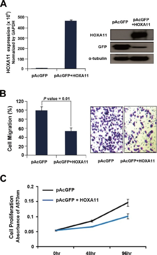 The effect of HOXA11 on cell migration and proliferation(A) To analyze the effect of HOXA11 on cell migration and proliferation, H23 lung cancer cells were transfected with pAcGFP-HOXA11 fusion construct, or empty vector. After transfection, the expression of HOXA11 was confirmed by western blot using primary antibody directed to GFP (sc-9996; Santa Cruz Biotechnology, CA, USA). (B) H23 cells transfected with pAcGFP-HOXA11 were re-seeded in 6.5 mm Transwell® with 8 μm pore size (Corning, USA). The cells were induced to migrate into 1% of FBS containing media in 24 well plate. After 48 hr each transwell insert was stained by 1% crystal violet and destained with 10% acetic acid. The absorbance was measured at 564 nm using VERSAmax microplate reader (Molecular devices). (C) H23 cells transfected with pAcGFP-HOXA11 were seeded in a 96 well plate, and cell proliferation activity was measured every 24hrs with MTT assay. Y axis indicates absorbance measured at 570 nm using VERSAmax microplate reader (Molecular devices), and the data are presented as mean ± standard error (SE) of eight experiments.