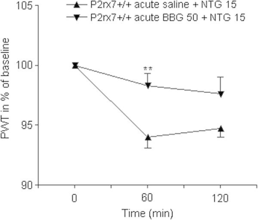 Acute prophylactic BBG treatment alleviates NTG-induced thermal hypersensitivity in wild-type mice. Mice were treated with 50 mg/kg BBG i.p. or an identical volume of saline 30 min before NTG treatment. PWT is expressed in % of baseline. Asterisks indicate statistical significant difference in respective PWT values from the saline-treated animals (n = 11-12 mice/group; Student's t-test, **P < 0.01).