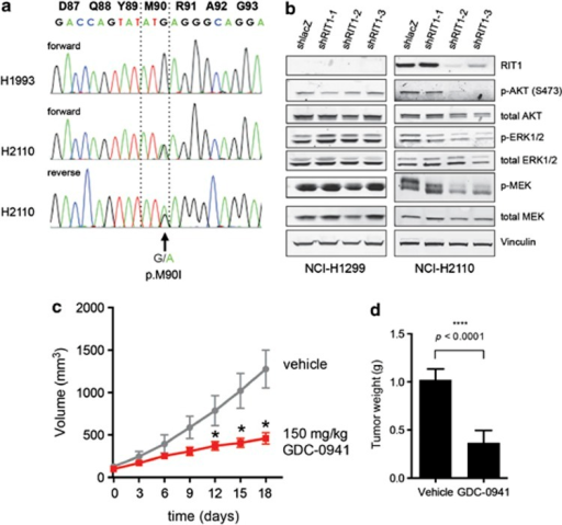 Endogenous mutated RIT1 regulates MEK and PI3K in NCI-H2110 cells. (a) Sanger sequencing of RIT1 RT–PCR products generated from NCI-H1993 or NCI-H2110 cell line cDNA. Numbering in black bold refers to amino-acid positions and colored letters refer to nucleotide sequence. An arrow indicates the position of a heterozygous p.M90I mutation. (b) Western blot of lysates from NCI-H1299 and NCI-H2110 following expression of shRNA hairpins targeting RIT1 (shRIT1-1, -2 and -3) or non-targeting hairpin control (shlacZ). (c) Tumor volume of NCI-H2110 xenografts in nude mice. 2 × 106 cells were injected subcutaneously into the flanks of nude mice. When tumors reached ∼100 mm3, drug treatment was initiated (day 0). Mice were treated daily with 150 mg/kg GDC-0941 or vehicle control by oral gavage. *P<0.05. n=9 tumors per condition. (d) Weight of tumors from NCI-H2110 xenografts shown in b. At day 18, animals were euthanized and tumors excised and weighed.