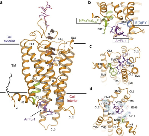 Overall structure of the Ops*–ArrFL-1 complex.(a) The active receptor Ops* (orange) and the ArrFL-1 peptide (purple) are shown in ribbon representation, and the ArrFL-1 side chains are shown as sticks. Oligosaccharides at Asn15NT (pink) and a palmitoyl chain at Cys3238.60 (black) are presented as sticks. The detergent molecule, β-D-octylglucopyranoside (blue), is shown within the ligand-binding pocket as sticks. (b) Side view and (c) top view of the binding crevice of Ops*. Major hydrogen bonding interactions of Ops* with ArrFL-1 are shown between Leu77 and Lys3118.48 from the NPxxY(x)5,6F motif (green), and Met75 and Arg1353.50 from the E(D)RY motif (blue). (d) Additional rotated top view of the binding crevice of Ops*. Hydrophobic interactions between ArrFL-1 and residues in the binding interface of Ops* protein moiety are shown as sticks and spheres (light-blue). Arg1353.50 of TM3, Val1383.53, Lys141CL2 of CL2, Glu2496.32, Val2506.33 of TM6 and Asn3108.47, Lys3118.48 of TM7/H8 are in van der Waals contact to ArrFL-1 (that is, separated by less than 4 Å).