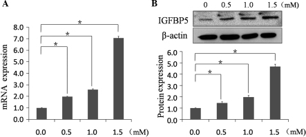 The mRNA and protein expression of IGFBP5 increases in a dose-dependent manner in NRVMs treated with MA for 48 h. NRVMs were incubated with MA at varying concentrations (0, 0.5, 1.0 or 1.5 mM). (A) Total RNA was subjected to reverse transcription polymerase chain reaction. (B) Whole cell lysates were analyzed by western blotting. An antibody against β-actin was used as the loading control. The data are presented as the mean ± standard deviation (n=6; *P<0.01). MA, methamphetamine; NRVMs, neonatal rat ventricular myocytes; IGFBP5, insulin-like growth factor binding protein-5.