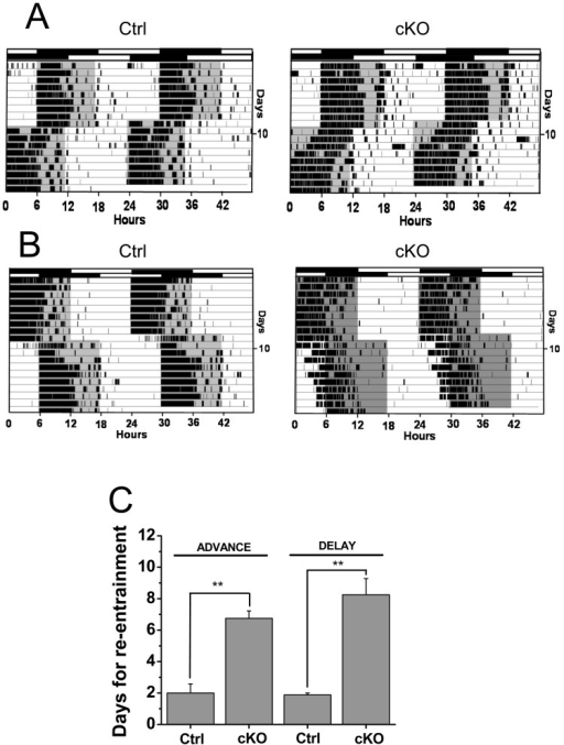 Vglut2-cKO mice show impaired re-entrainment to phase shifts in the LD cycle.(A) Representative double-plotted actograms of mice subjected to 6 hr phase advance on days marked. Top bars indicate initial LD cycle; bottom bars below indicate shifted cycle. (B) Representative double-plotted actograms of mice subjected to 6 hr phase delay on days marked. Top bars indicate initial LD cycle; bottom bars below indicate shifted cycle. (C) Number of days required for reentrainment after the 6 hr phase advance or phase delay in control (n = 7) and Vglut2-cKO (n = 4) mice. Vglut2 mice showed delayed re-entrainment to either phase advances or phase delays in the LD cycles (** p<0.05)).