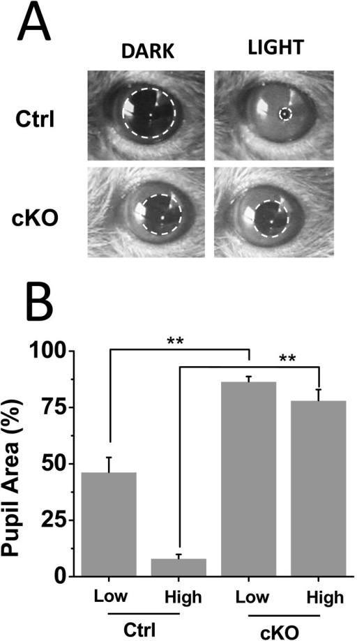 Attenuated PLRs in Vglut2-cKO mice.(A) Images of control and Vglut2-CKO mice pupils before and during exposure to high intensity (3.8 mW/cm2) white light stimuli. (B) Summary of PLRs measured in control mice. Consensual PLRs were measured in control (n = 8) and Vglut2-cKO (n = 10) mice. Vglut2-cKO mice show severe deficits in PLRs under low (4 µW/cm2) and high (3.8 mW/cm2) intensity white light stimuli (** p<0.05). Light stimuli were delivered for 20 s and maximum pupil area was measured before and during the light stimulus. Percent of pupil area following the light stimulus is shown normalized to the pupil area during dark conditions.