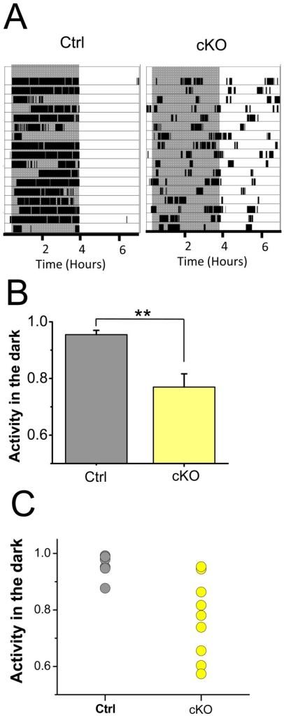 Negative masking responses to light are impaired in the Vglut2-cKO mice.Control and Vglut2-cKO mice were subjected to 3.5 h light: 3.5 h dark cycles for 14 days. (A) Control mice show robust activity during dark period reflecting strong aversion to locomotor activity under bright light conditions. The Vglut2-cKO mice, on the other hand, exhibited activity in both dark and light periods indicative of less pronounced negative masking responses to light. Shaded regions indicate periods of darkness. (B) Activity in the dark normalized to the total activity is higher in the control (n = 7) than the Vglut2-cKO (n = 8) mice (** p<0.05). (C) Analysis of the individual mice shows more variable masking responses among the Vglut2-cKO mice (n = 9) than control littermates (n = 7).