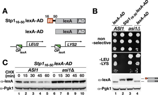 RI acts in a modular manner as a promoter exclusion determinant and an Asi-dependent degron. (A) Schematic representation of the artificial transcription factor composed of amino acids 16–50 of Stp1 fused to the bacterial DNA-binding protein lexA fused to the viral VP16 transcription AD. OPlexA-LEU2 and OPlexA-LYS2 reporter genes were used to assess binding to lexA operators. (B) Growth analysis of CAY235 (ASI1) and SHY016 (asi1Δ) carrying pDO211 (lexA-AD) or pDO260 (STP116-50-lexA-AD) on nonselective and selective media lacking leucine and lysine. Immunoblot of extracts prepared from strains. The immunoreactive forms of the lexA proteins present in cell extracts are schematically represented at their corresponding positions of migration. (C) Immunoblot analysis of extracts from strains CAY235 (ASI1) and SHY016 (asi1Δ) carrying pDO260 (STP116-50-lexA-AD) treated with CHX. Cells were pregrown in SD; at t = 0, the cultures received an aliquot of CHX (final concentration, 100 μg/ml), and samples were taken at the indicated time points. Levels of Pgk1 serve as internal control for protein loading.