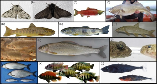 Overview of organisms mentioned in text: (A) light and dark phenotypes of peppered moth (Biston betularia), (B) sockeye salmon (Oncorhynchus nerka), (C) Atlantic cod (Gadus morhua), (D) Atlantic trout (Salmo trutta), (E) Rhône trout (Salmo rhodanensis), (F) barbel (Barbus barbus), (G) roach (Rutilus rutilus), (H) grayling (Thymallus thymallus), (I) two sympatric distinct phenotypes of sculpins (Cottus spp.) from Lake Thun, Switzerland, (J) whitefish species pair from Lake Walen, Switzerland (male and female Coregonus duplex (top) & C. helingus (bottom)), (K) phenotype gradient in a Cichlid species pair (Pundamilia nyereri and P. pundamilia) from Lake Victoria, (L) threespine stickleback species pair from Enos Lake, BC, Canada (Gasterosteus spp.). Photograph courtesy: (A) 'Biston.betularia.7200' and 'Biston.betularia.f.carbonaria.7209' by o.leillinger@web.de. Licensed under Creative Commons Attribution-Share Alike 3.0 via Wikimedia Commons – http://commons.wikimedia.org/wiki/File:Biston.betularia.7200.jpg#mediaviewer/File:Biston.betularia.7200.jpg & http://commons.wikimedia.org/wiki/File:Biston.betularia.f.carbonaria.7209.jpg#mediaviewer/File:Biston.betularia.f.carbonaria.7209.jpg, (B) 'Oncorhynchus nerka' by Timothy Knepp of the Fish and Wildlife Service. – US Fish and Wildlife Service. Licensed under Public domain via Wikimedia Commons – http://commons.wikimedia.org/wiki/File:Oncorhynchus_nerka.jpg#mediaviewer/File:Oncorhynchus_nerka.jpg, (L) Eric B. Taylor, University of British Columbia. All other photographs by the authors.