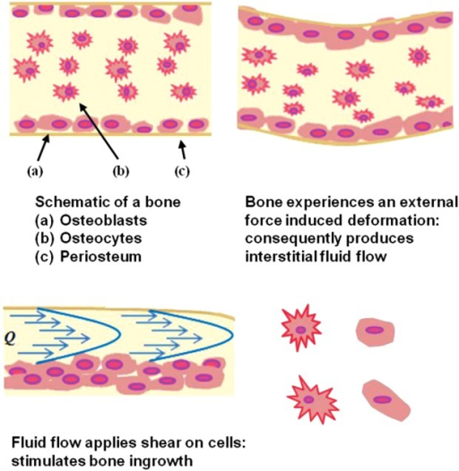 Schematic of bone and mechanical deformation induced interstitial fluid flow. Fluid-induced shear stress comes from the mechanical movement, upregulating cell proliferation/attachment and hence the cellular growth (after Carvalho et al.48). [Color figure can be viewed in the online issue, which is available at http://wileyonlinelibrary.com.]