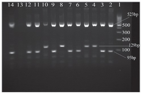 Multiplex polymerase chain reaction (PCR) products on a 2% agarose gel. Beijing strains generated 129-bp and 523-bp fragments. Non-Beijing strains generated 95-bp and 523-bp fragments.Lanes 1: 100-bp DNA ladder;2: Mycobacterium tuberculosis H37Rv;3, 6, 7, 9, 11, 12 and 14: non-Beijing strain;4, 5, 8 and10: Beijing strain; Lane 13: Distilled water blank control