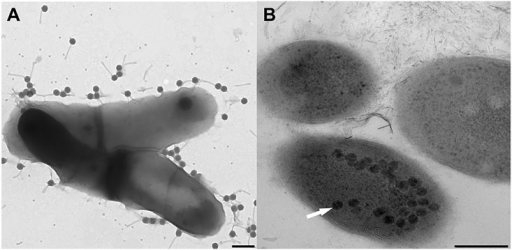 Stages in Gordonia phage infection cycles.(A) Attachment stage of phage infection cycle between phage GMA6 and host Gordonia malaquae strain CON67. Scale = 200 nm. (B) Replication of phage GTE6 inside G. terrae strain CON34 cells prior to cell lysis. Arrows indicate phage replicated inside bacterial cells. Scale = 200 nm.