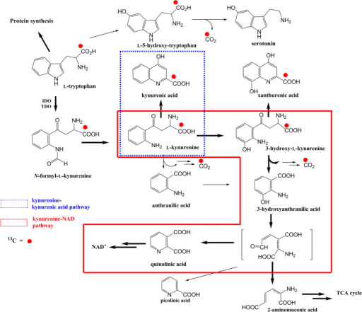 Schematic view of 13C-tryptophan metabolism. After util | Open-i