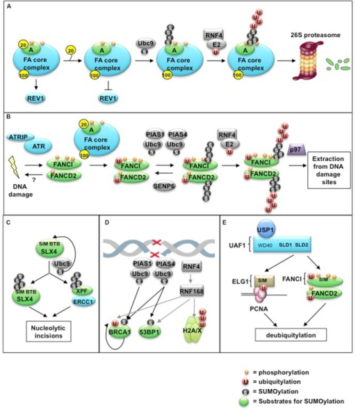 Control of the FA pathway by SUMO and SUMO-like modifications. (A) Regulated release of the FAAP20 subunit from FANCA is required for SUMOylation of FANCA via the E2 conjugating enzyme Ubc9. Removal of FAAP20 inhibits the recruitment of the downstream TLS polymerase REV1 during ICL repair, resulting in decreased TLS-mediated mutagenesis. SUMOylation of FANCA subsequently triggers RNF4-mediated polyubiquitylation and proteasome-mediated degradation. (B) The ID complex is targeted for SUMOylation in a manner dependent on the activities of the ATR kinase, the FA core complex, and the SUMO E3 ligases PIAS1/PIAS4. Alternatively, SUMOylation can be removed by the SUMO protease SENP6. SUMOylation of the ID complex allows for recognition by RNF4, leading to ID complex polyubiquitylation and removal from damage sites via the DVC1-p97 segregase complex. (C) The SLX4 complex acts as a SUMO E3 ligase by triggering its own SUMOylation in addition to that of the DNA repair/recombination endonuclease XPF. This SLX4-dependent SUMOylation is dependent on the E2 Ubc9, as well as its own SIMs and BTB domains, and is important to prevent mitotic catastrophe following CFS expression. (D) The SUMO E3 ligases PIAS1 and PIAS4 promote DSB repair by localizing to damage sites and SUMOylating multiple target proteins, including BRCA1 and 53BP1. This SUMOylation is required for proper ubiquitin-adduct formation mediated by RNF8, RNF168, and BRCA1 to initiate a DNA damage response (DDR). (E) The SUMO-like domain SLD2 of UAF1 directs USP1-UAF1 targeting to its substrates via SIMs located within FANCI and the PCNA-interacting protein hELG1. These SLD-SIM interactions regulate deubiquitylation of FANCD2 and PCNA-Ub substrates, respectively, to coordinate HR and TLS activities during FA DNA repair.