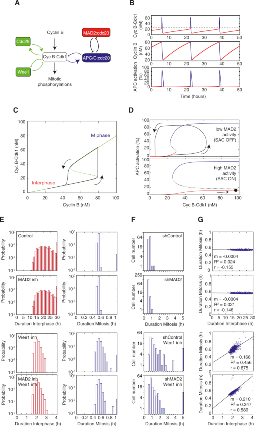 ode modeling predicts that positive feedback promotes t open i basic electrical wiring diagrams ode modeling predicts that positive feedback promotes temporal modularity in mitosis(a) wiring diagram