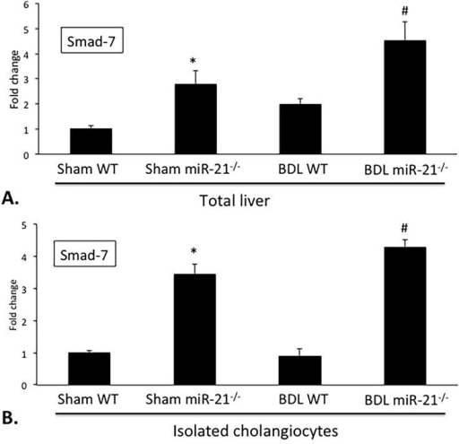 Evaluation of Smad-7 expression. In total liver and isolated cholangiocytes from BDL WT mice there is increased decreased Smad-7, as shown by qPCR, when compared to Sham WT (A, B). However, total liver and isolated cholangiocytes from BDL miR-21−/− mice show increased Smad-7 when compared to BDL WT (A, B). n = 9 reactions from total RNA from 6 animals for qPCR. *p<0.05 vs. Sham WT; #p<0.05 vs. BDL WT.