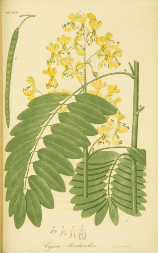 <p>Colored engraving of American senna.</p>