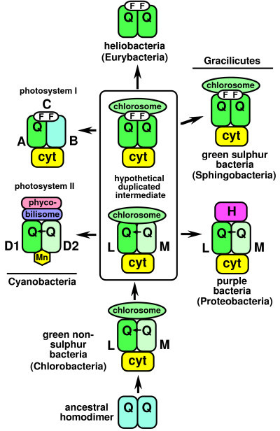 Hypothetical phylogeny for photosynthetic reaction centres. Prior to the last common ancestor of all extant life the primitive reaction centre, a homodimer with two bound quinones, each donating electrons to a primitive cytochrome cc complex, evolved into the heterodimeric type found in green non-sulphur bacteria (Chlorobacteria). This was duplicated prior to divergence of cyanobacteria and gracilicutes to generate a modified homodimeric type of cytochrome bc1 complex with iron-sulphur clusters (FF); for a mechanistic explanation of this duplication see [126]. Cyanobacteria converted the two versions into photosystems I and II. Proteobacteria replaced chlorosomes in the original heterodimeric type by an H subunit with purple carotenoid, but did not retain the new duplicate with FeS clusters. By contrast, this was the only version retained by green sulphur bacteria (Sphingobacteria) and Heliobacteria, both losing the earlier heterodimeric type. This scenario is simplified from ref. 1 and congruent with the cladistic tree in Fig. 7 and the concatenated rRNA tree [80] and is compatible with photosynthetic protein trees, if properly rooted (see text).