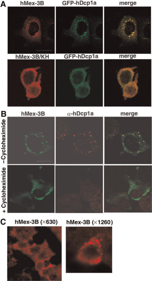 Localization of hMex-3B in Dcp-containing bodies. (A) MCF7 cells expressing hMex-3B or hMex-3B/KH and GFP-hDcp1a proteins were stained with anti-hM3Bα antibody and revealed with ALEXA555-conjugated secondary antibody (left). Central panel shows GFP signal. Right panel shows overlay of the two signals. (B) MCF7 cells expressing hMex-3B protein treated with or without 5 μg/ml of cycloheximide were stained with anti-myc antibody (left) and anti-hDcp1a antibody (middle) and revealed with ALEXA488 and ALEXA555-conjugated secondary antibodies. Right panels show overlay of the two signals. Scale bar: 20 μm. (C) Sections of mouse duodenum (magnification: ×630 or ×1260) were stained with anti-hMex-3Bβ and revealed with an ALEXA555-conjugated secondary antibody. Tissues were mounted and observed by a confocal microscope, as described in the materials and methods section.