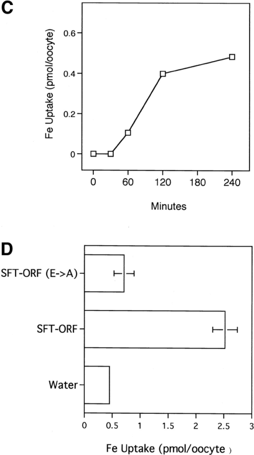 Iron transport in Xenopus  oocytes. (A) Fe transport was measured for oocytes injected with water  or 20 ng mRNAs from control or  PMA-stimulated K562 cells. Shown are  the average values of 55Fe assimilated  over 2 h ± SE (n = 6 oocytes). (B) Fe  transport was measured as in A for oocytes microinjected with water or 4 ng  of the following: full-length SFT cRNA  + pool of complementing cRNAs (15  oocytes), full-length SFT cRNA alone  (15 oocytes), or SFT-ORF cRNA,  which contains the ORF (17 oocytes).  Data are the average values ± SE. (C)  Time course of Fe assimilation by  oocytes microinjected with 4 ng of  SFT-ORF cRNA. 55Fe uptake was determined as a function of time; background levels measured for water- injected oocytes were subtracted to  obtain specific transport measurements (mean ± SE; n = 15). (D) Fe  transport was measured for oocytes injected with water or 4 ng of wild-type  and E→ A mutant SFT-ORF cRNA.  The latter mutant contains alanines in  place of the key glutamic acid residues  in the RExxE motif present in SFT  (Glu83 and Glu86) that appears functionally related to a domain important  for high affinity Fe transport in yeast  (Stearman et al., 1996). Data are the  average values ± SE (n = 12).
