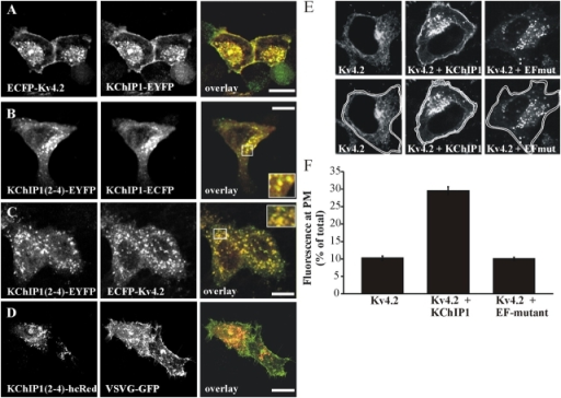 Effects of the KChIP1 EF-hand mutant on membrane traffic. (A) In HeLa cells coexpressing KChIP1-EYFP, the Kv4.2 channel traffics to the plasma membrane. The KChIP1 EF-hand mutant (KChIP1(2–4)-EYFP) is targeted to the same vesicles as is KChIP1-ECFP (B), but in contrast to KChIP1-EYFP, it disrupts traffic of ECFP-Kv4.2 to the plasma membrane and traps the channel in vesicles (C). The EF-hand mutant does not disrupt traffic of VSVG-GFP to the plasma membrane over a 5-h period at permissive temperature (D). The color overlays show coexpressed proteins in red and green with colocalization appearing in yellow. Bars, 10 μm. Quantification of the effect of KChIP1-EYFP and KChIP1(2–4)-EYFP on ECFP-Kv4.2 traffic to the plasma membrane. (E) HeLa cells were transfected to express ECFP-Kv4.2 alone or in combination with KChIP1-EYFP or the EF-hand mutant KChIP1(2–4)-EYFP. ECFP-Kv4.2 fluorescence was imaged and quantified by drawing regions of interest around the outside and the inside of the plasma membrane (bottom panels) to allow determination of the percentage of total fluorescence at the plasma membrane. (F) Mean data derived from 25–29 cells expressing ECFP-Kv4.2 alone or coexpressing KChIP1-EYFP or KChIP1(2–4)-EYFP.